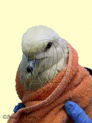 petrel-fulmar